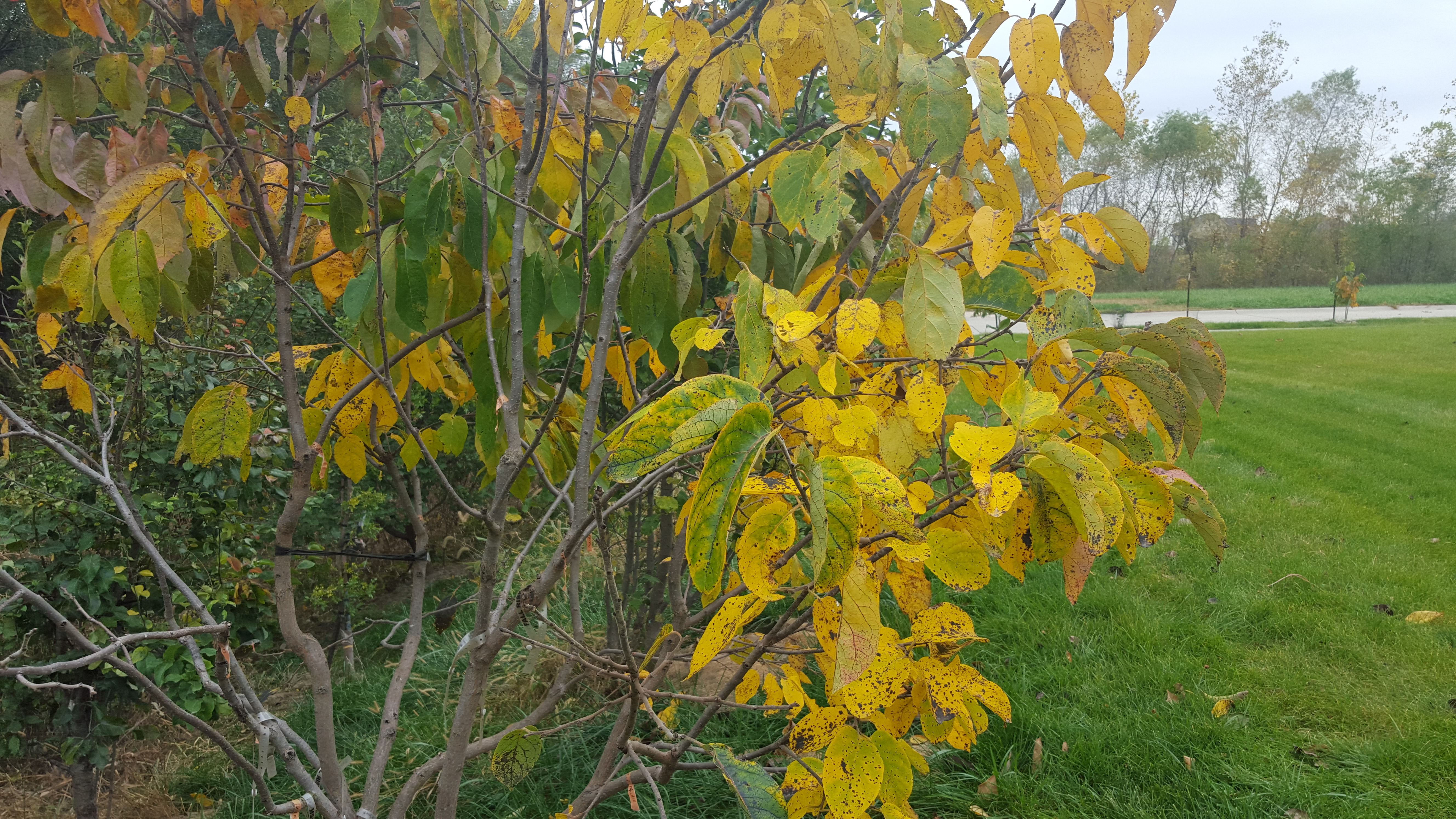 Persimmon leaves starting to turn colors - General Fruit Growing ...