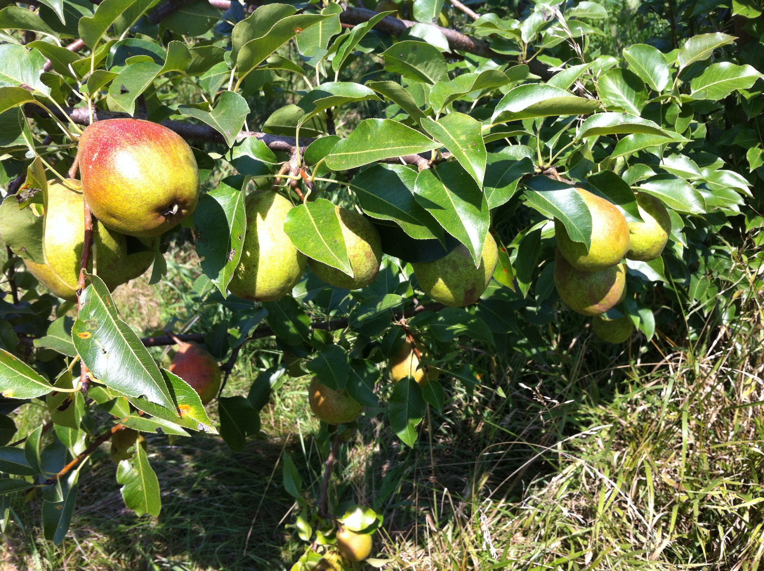 And young asian pear tree disease anatuer