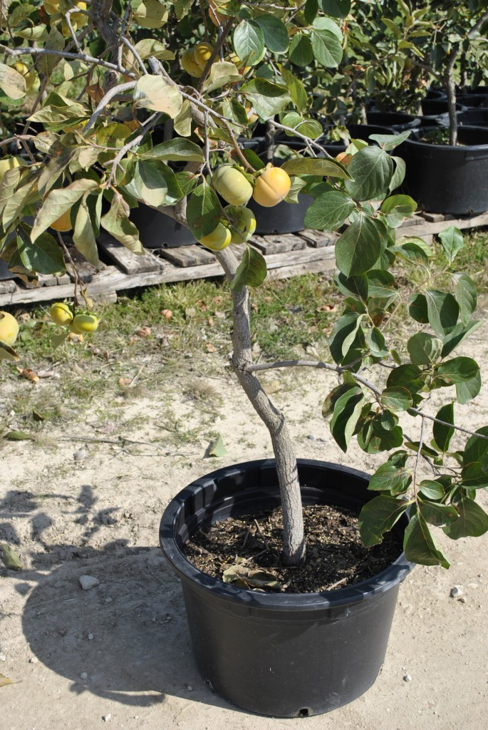 container grown kaki persimmons  general fruit growing  growing, Natural flower
