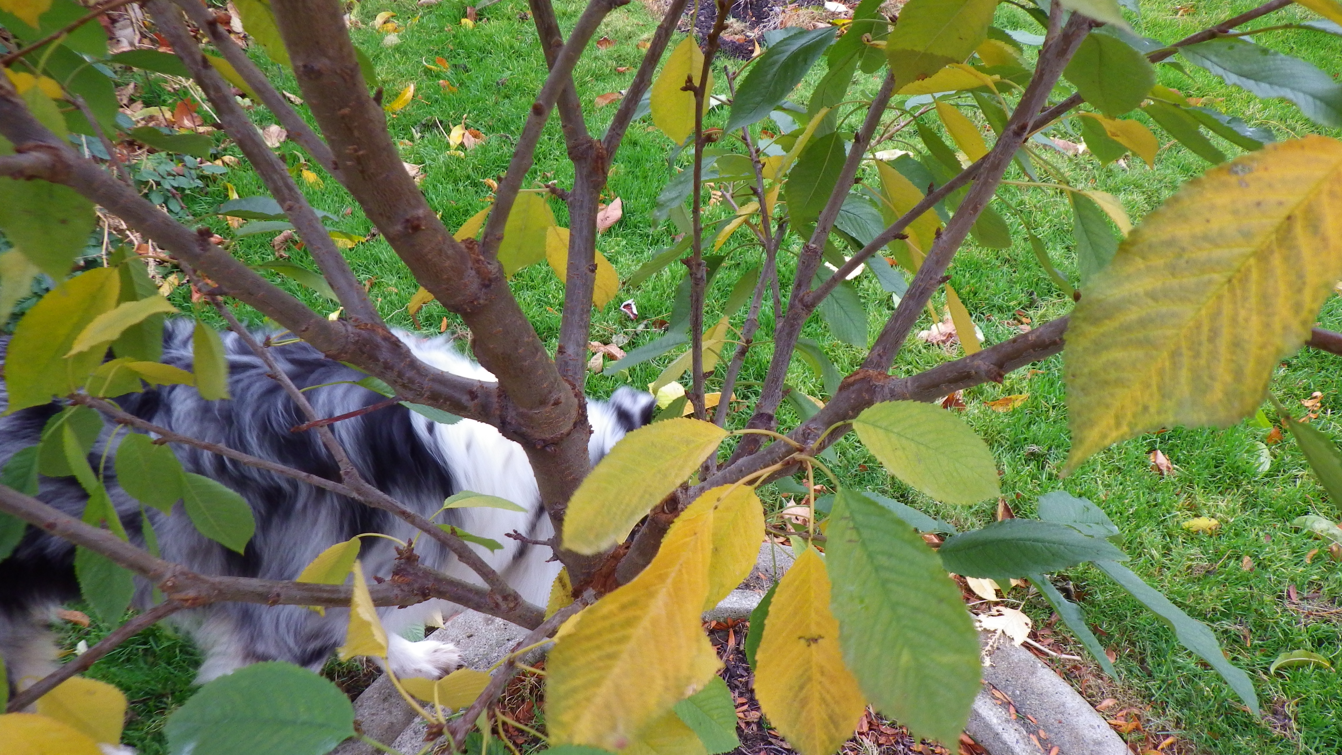how to grow sweet cherry trees in iroquois