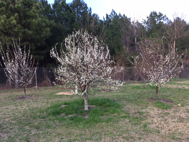 plums in bloom Feb 18th 2018