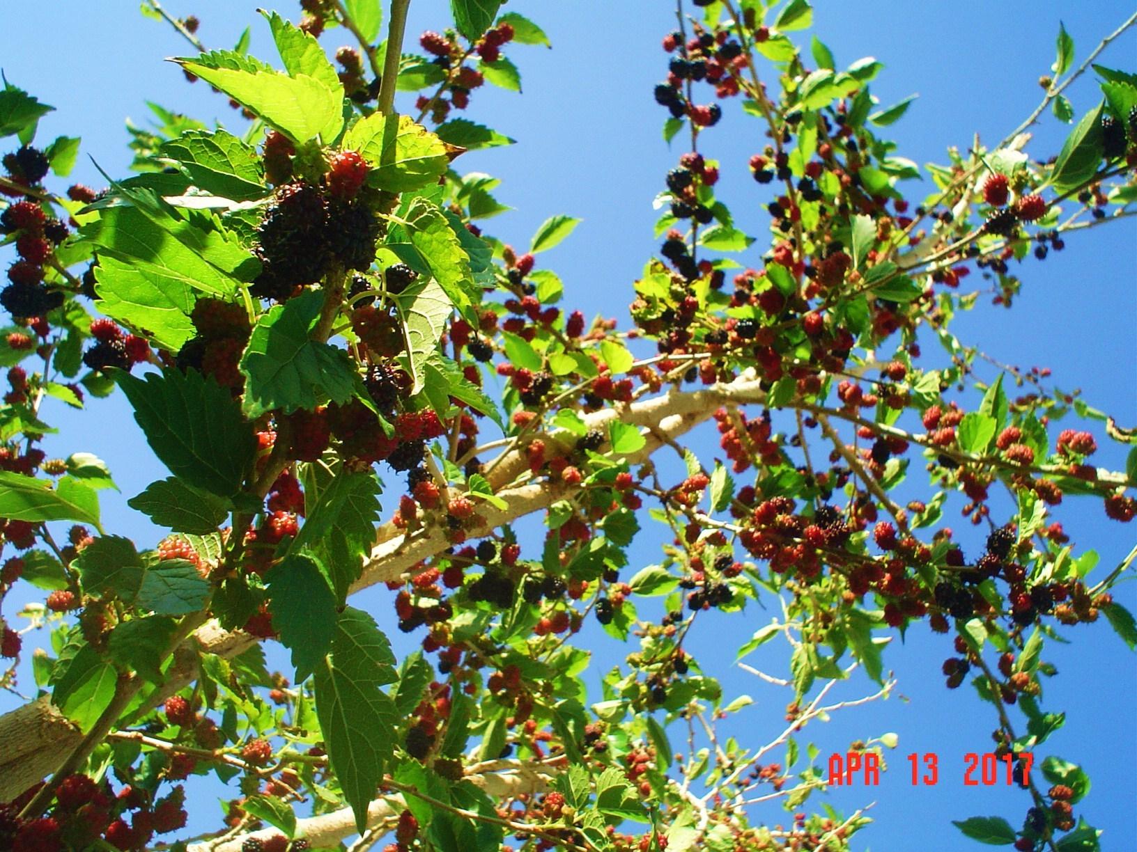 Dwarf everbearing mulberry m nigra general gardening growing dwarf everboringg1632x1224 572 kb sciox Image collections