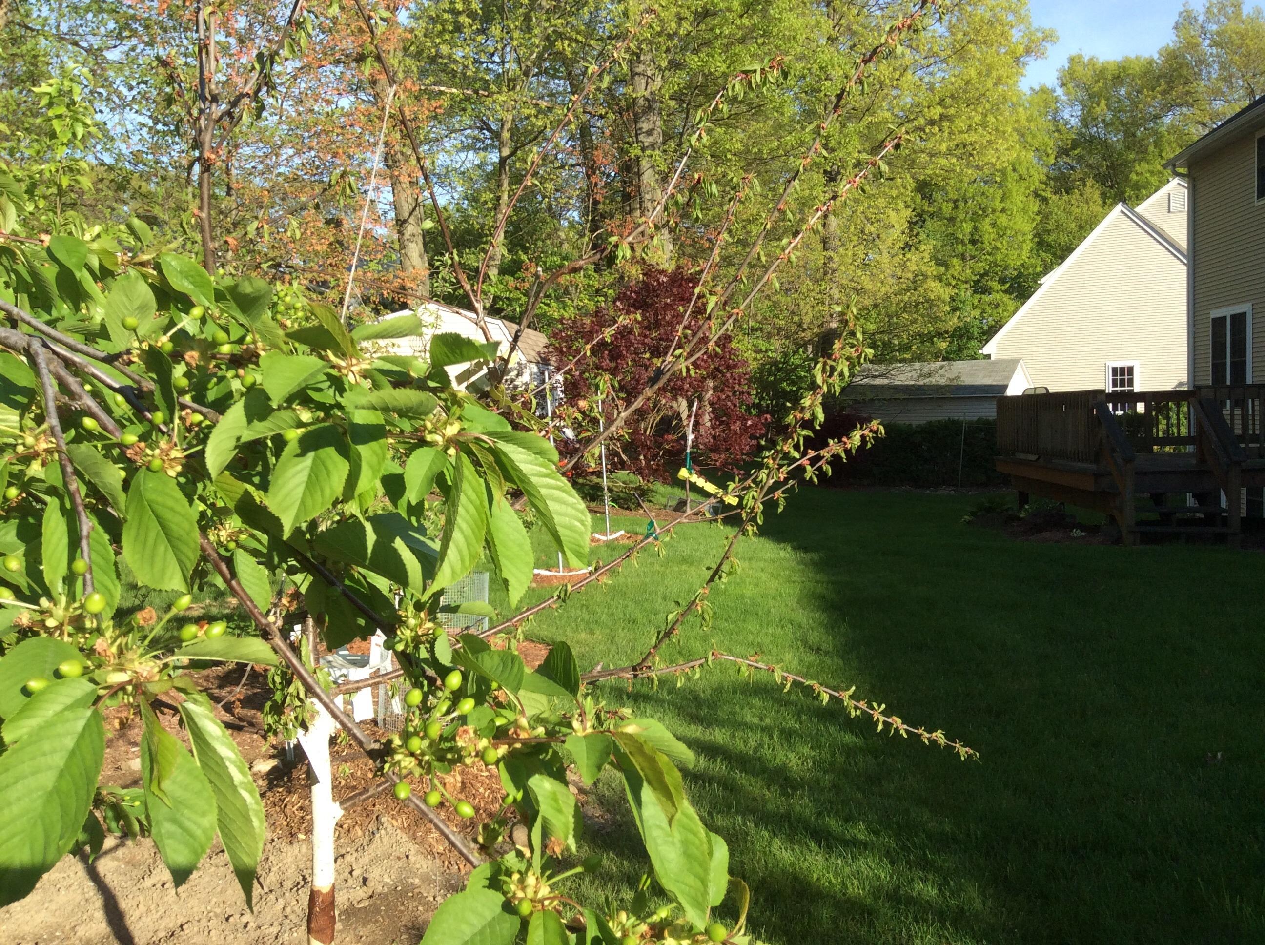 my sweet cherry tree is dying general fruit growing growing fruit