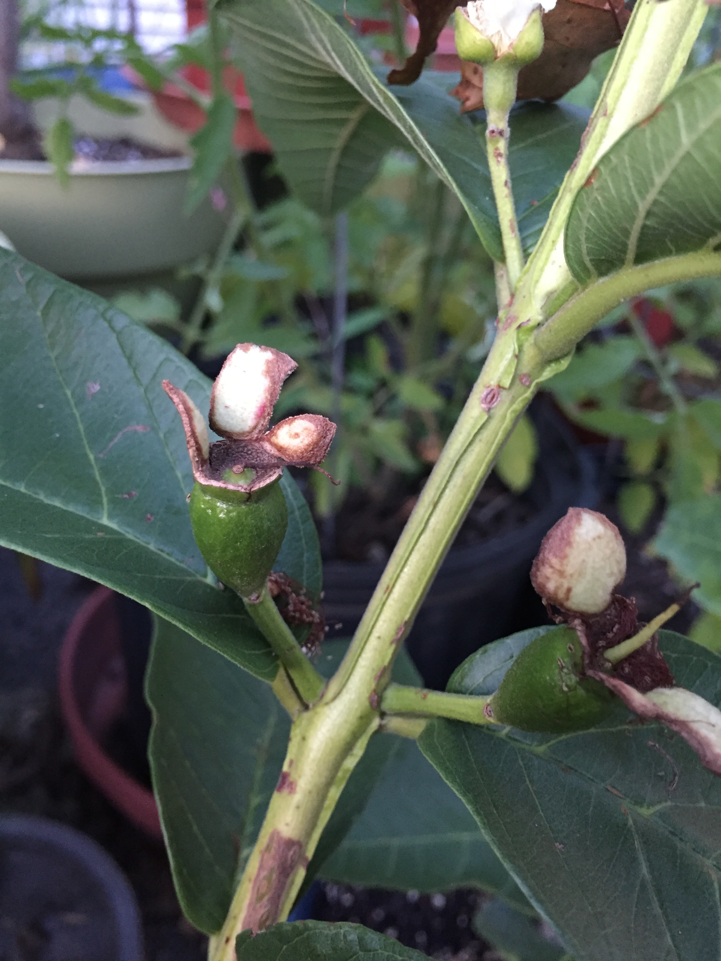 IMG_6371.JPG2448x3264 1.26 MB & Growing tropical fruit in containers in zone 6 PA - General Fruit ...