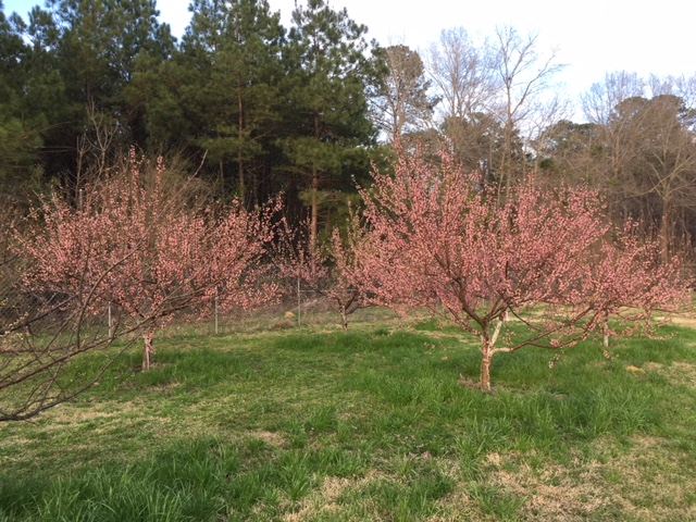 peaches in bloom Feb 18th 2018