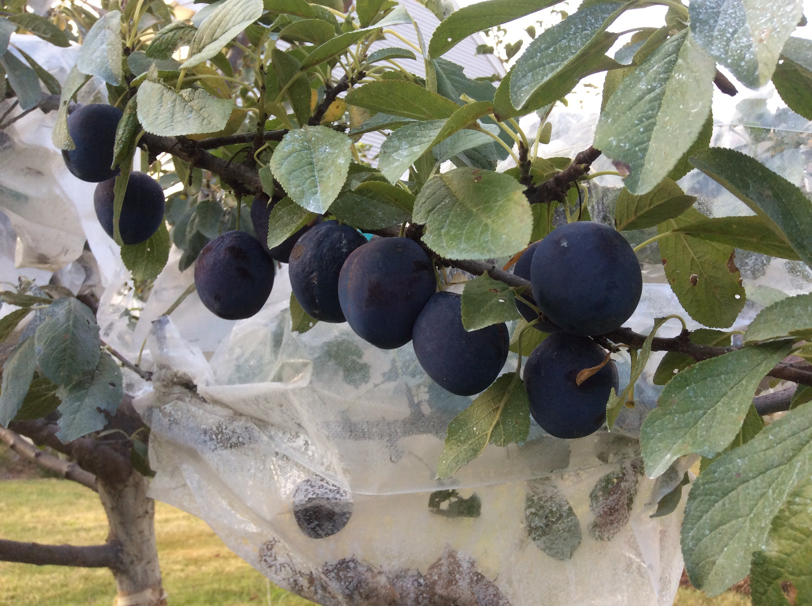 bagging fruit on trees