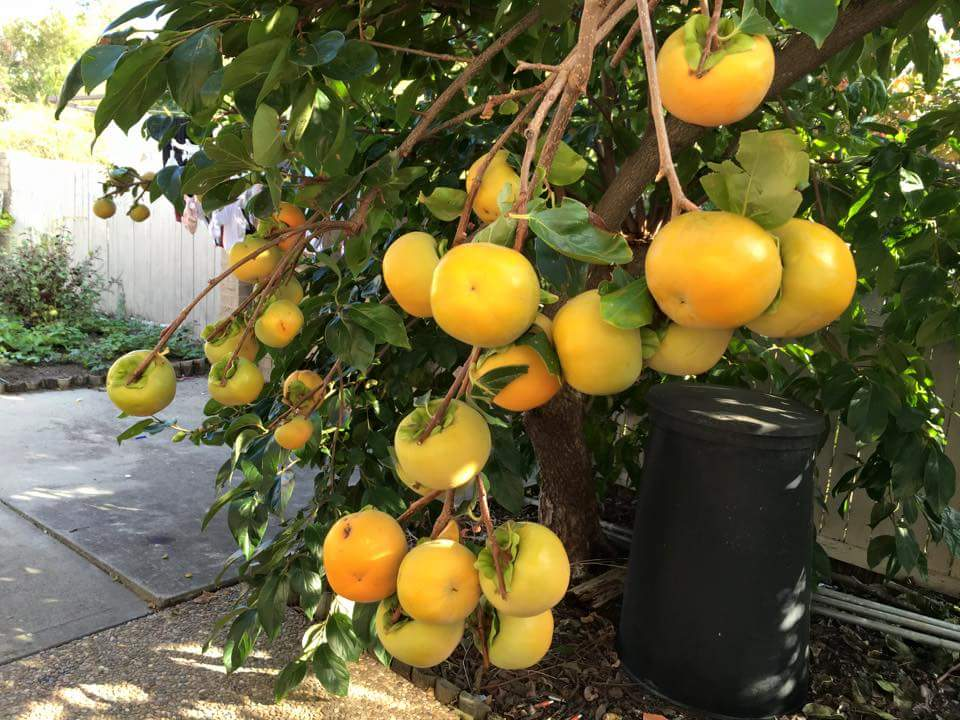 how to grow passion fruit in melbourne