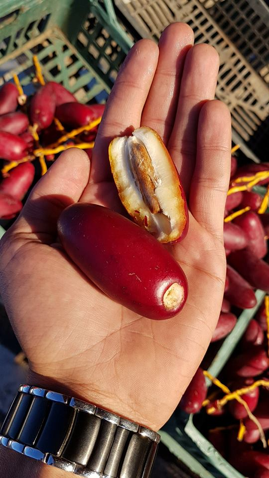 Zaghloul variety dates in the khalal fresh eating stage in Egypt