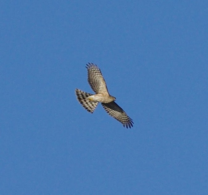 Sharp-shinned Hawk 2018-02-05