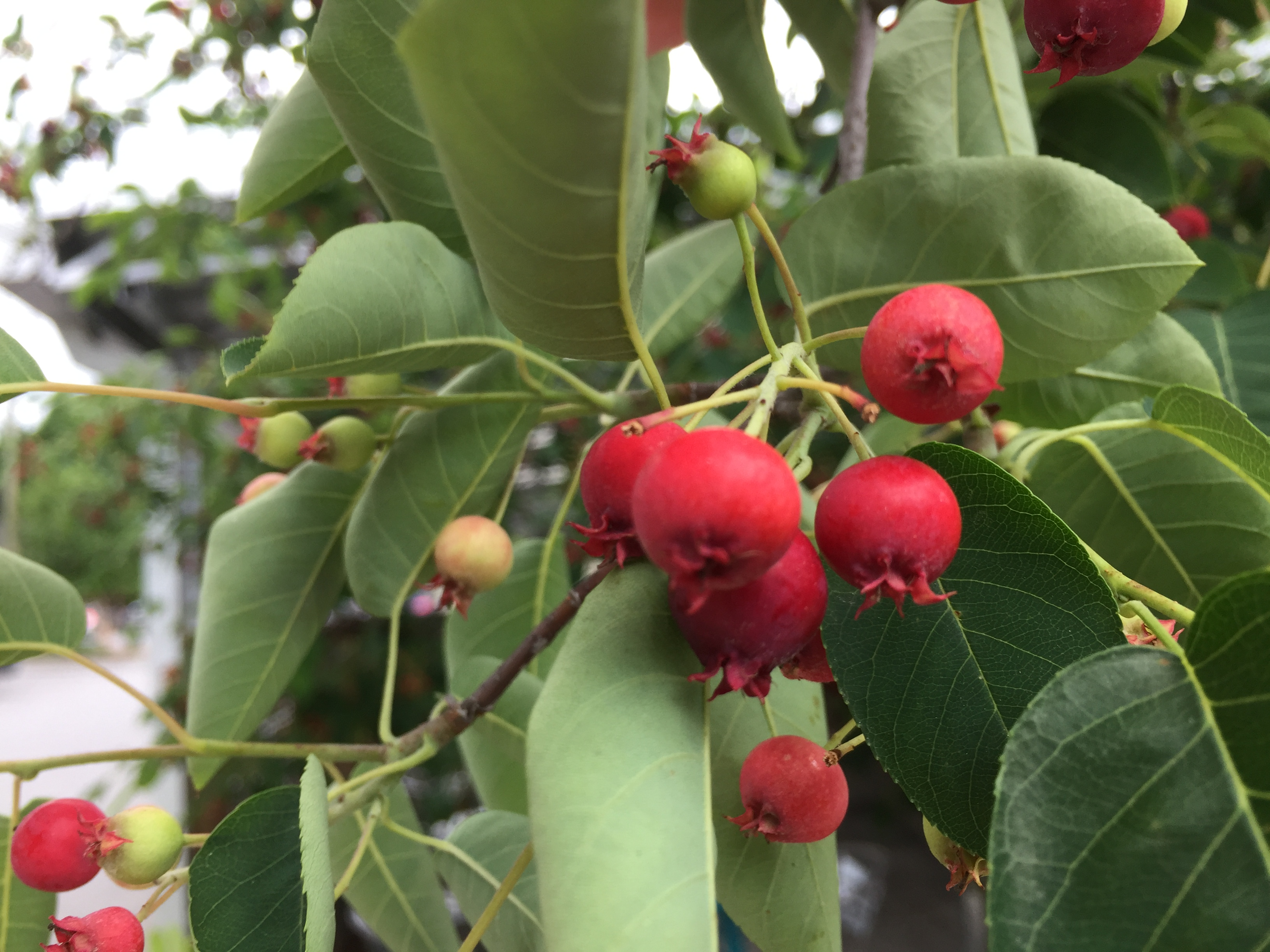 Serviceberry or not general fruit growing growing fruit img1365g3264x2448 163 mb altavistaventures Image collections