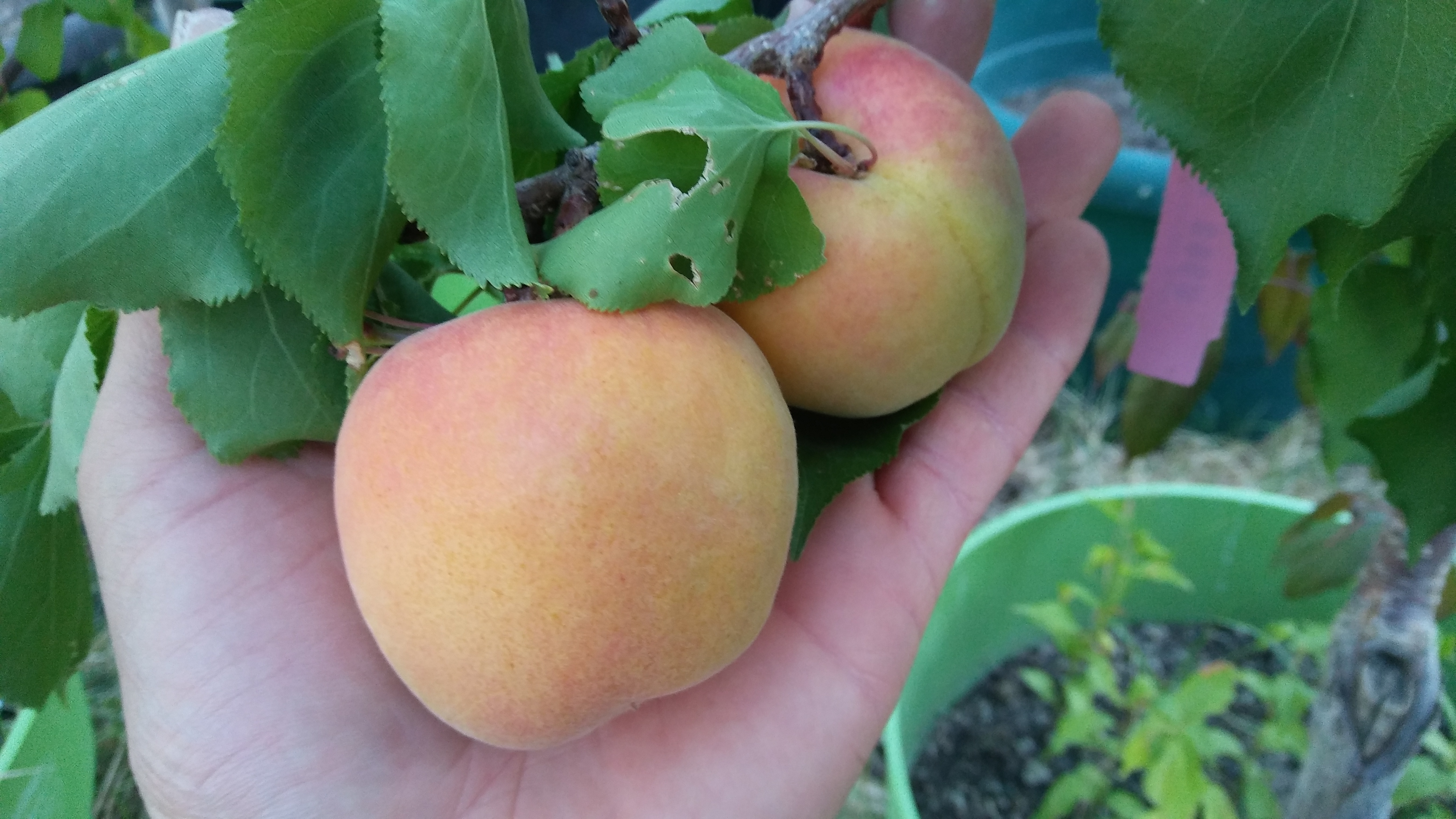 Picture of Live Leah Cot Aprium 'R' I.S. Apricot Fruit Tree Fit 5 Gallon Pot