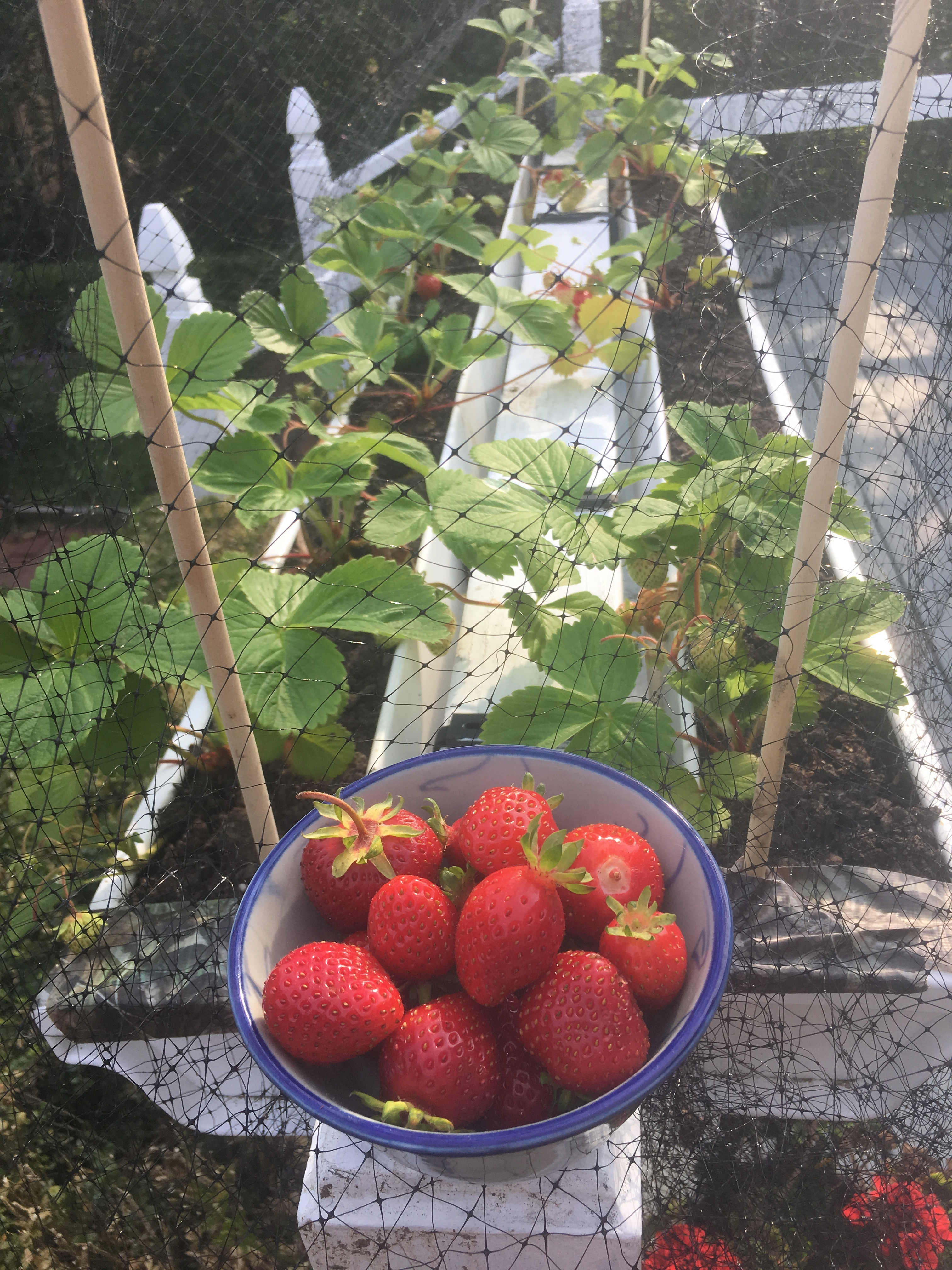 511 Best Container Gardening Ideas Images On Pinterest: Container Size For Strawberries