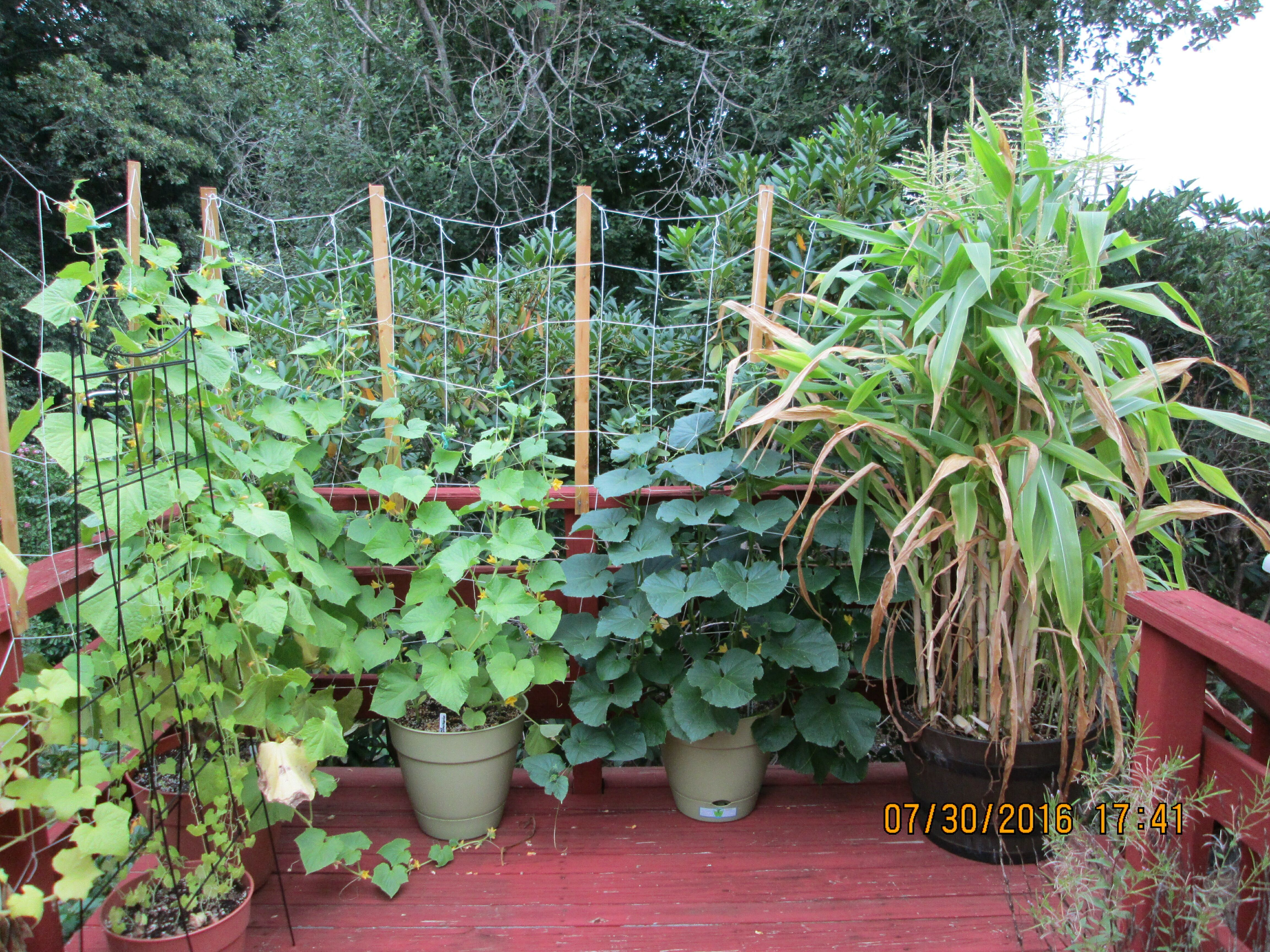 growing cucumbers in containers results of 2016 general gardening