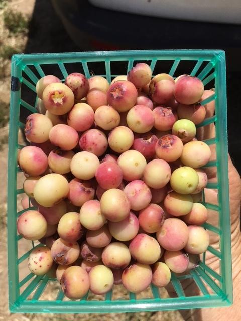 Image result for pink lemonade blueberry taste